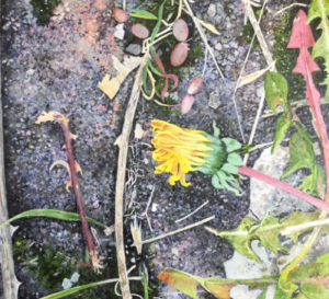 Dandelions and Double Yellows - Your Gallery